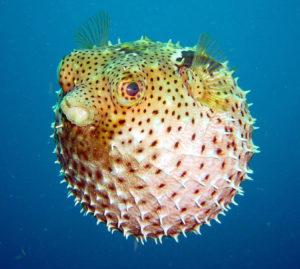 pufferfish-wallpaper