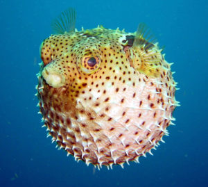 pufferfish-wallpaper
